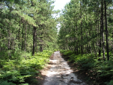 pine barrens 2